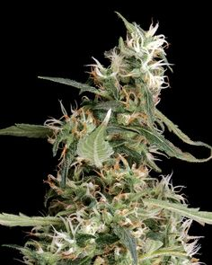 Arjan's Ultra Haze Feminised Seeds