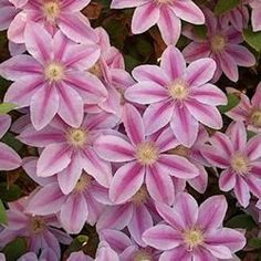Nelly Moser Clematis reseeds like crazy and you get more! How great is that?