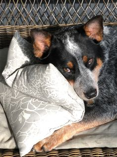 Aussie Cattle Dog, Austrailian Cattle Dog, Cattle Dogs, Blue Heelers, Dog Rules, Puppy Breeds, Cattle Ranch, I Love Dogs, Cute Animals