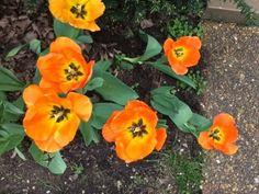 Daydream Tulip Bulbs from Costco Costco Shopping, Tulip Bulbs, Daydream, Grandkids, Nashville, Tulips, Blogging, Plants, Plant