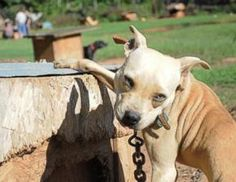 August 23, 2013: a 3 year investigation and multi-state dog fighting bust results in the rescue of 367 dogs.