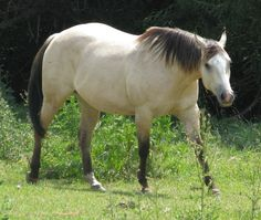 Golden Buckskin Horse | or sell your choice thoroughbred horse animals farm performance horses