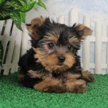 Devon Yorkshire Terrier Puppy Yorkshire Terrier Puppies
