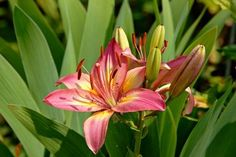 How to Fertilize Daylilies for Rebloom