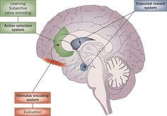 Billedresultat for orbitofrontale cortex