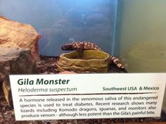 The sign at the zoo says that this Gila Monster's venom is used to treat diabetes. In fact, this little lizard is the original source of Byetta!