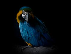 https://flic.kr/p/bwqTsE   Arara-canindé (Ara ararauna) - Blue-and-yellow Macaw   Local: RioZoo Classificação Científica Reino: Animalia Filo: Chordata Classe: Aves Ordem: Psittaciformes Família: Psittacidae Características Mede cerca de 80 centímetros de comprimento. Grande e de rabo longo. Inconfundível e vistosa coloração azul ultramarino no dorso, e amarelo-dourado na parte inferior desde a face, ventre até o rabo, garganta com linha negra e área nua na cabeça ...