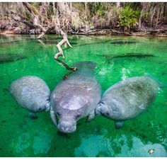 Manatees Nursing!!! Latest Update&Recaps on Pop Culture,Reality&Drama TV Please Visit, Like & Share www.detroitchatter.com https://www.facebook.com/pages/DetroitChatter/1580450855565810