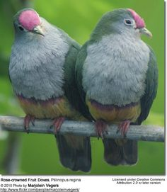 Rose-crowned Fruit Doves.