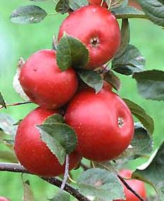 Apple Essentials- When planting trees on dwarfing and semi-dwarfing rootstocks, be sure the graft union stays at least 1 inch above ground.  Space standard trees 30 to 35 feet apart, semi-dwarfs 20 to 25 feet apart, and dwarf trees 15 to 20 feet apart.  Surround each tree with a mouse guard before filling the hole completely.  Water, prune, and mulch young trees right after planting.
