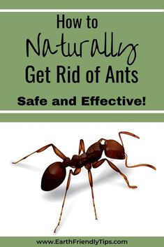 Have pesky ants made their way into your home? Don't reach for the dangerous pesticide. Instead, learn how to naturally get rid of ants with these safe and effective options. Essential Oil Spray, Essential Oil Scents, Borax For Ants, Ant Spray, Diy Pest Control, Get Rid Of Ants, Natural Pesticides, Green Living Tips, Medicinal Plants