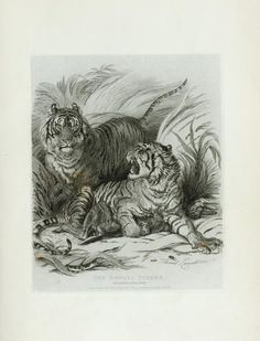 One of hundreds of thousands of free digital items from The New York Public Library. Tiger Tiger, Bengal Tiger, Boy Wall Art, Leopards, New York Public Library, Natural History, Big Cats, Tigers, Lions