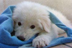 Ettore the Maremma Sheepdog