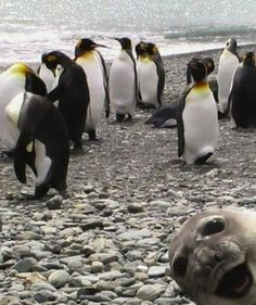 adorable seal photobombing penguins