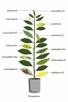 Garden Trees, Trees To Plant, Plant Leaves, Backyard Coop, Cactus, Tree Pruning, Variegated Plants, Plant Care, Hydroponics