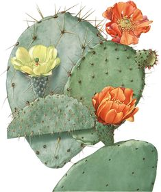 Image result for prickly pear illustration