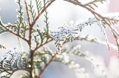 Frozen plants in summer garden / winter time / nature / first frost / via photo blog http://evelynlphoto.com/blog/2013/12/21/winter-bliss  photography , photographer , colors , white , sunny , lovely , morning , visit , check out , on the blog , blogger , fine art , i love photography , focus , prime lens , amazing , explore , simple life's pleasures , simply beuatiful , beauty