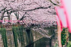 Eerder lieten we al mooie foto's zien van de Japanse lente waar de bloesem weelderig tiert, vandaag kwamen we weer een paar prachtige beelden tegen. Poëtis