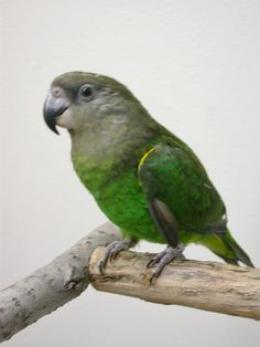 Parrot - Brown Headed Parrot Flying, Conure, African, Birds, Parrots, Pets, Friends, Animals, Google Search