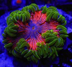 Cornbred 039 s Crazy Clown Killer WYSIWYG Anemone Live Coral | eBay