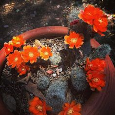 Cactus has been blooming for the last several weeks #cactus #succulents #flowers #garden #gardenersnotebook #orange #orangeflowers #nature #outdoors