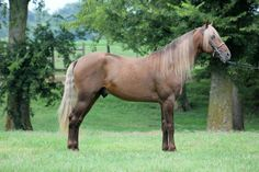 bay silver - Kentucky Mountain Saddle Horse stallion Rock's Blaze Of Glory