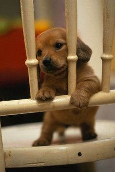 I swear, puppies are the cutest (along with all babies) BUT dachshund puppies are the all time cutest.I absolutely love doxie puppies. Cute Baby Puppies, Baby Dogs, Cute Baby Animals, Animals And Pets, Cute Dogs, Dogs And Puppies, Funny Animals, Doggies, Dachshund Puppies