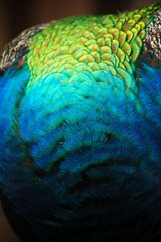 Need to make a blanket or shawl in peacock colors! So beautiful and happy. Peacock Colors, Peacock Art, Peacock Feathers, Peacock Images, Peacock Photos, Peafowl, Beautiful Birds, My Favorite Color, Textures Patterns