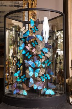 A selection of Morpho's butterflies arranged in a 19th-century display case. This is the biggest butterfly dome we have ever had and it is spectacular. #Butterflies #taxidermy #butterflydisplay #interiordesign #purewhitelines #London