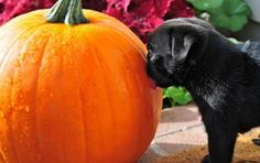 Puppy: How do they get from THIS to a pumpkin pie? Pugs, Pug Photos, Pug Love, A Pumpkin, Mans Best Friend, Dog Life, Cute Animals, Puppies, Dog Days