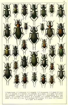 """G.G. Yakobson (1905-1915) - """"Beetles of Russia"""": table 4"""