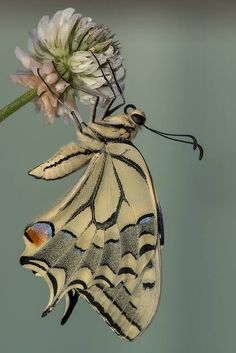 Old World Swallowtail (Papilio machaon) by ROQUE141 on Flickr