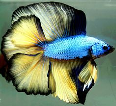 Summary: Betta Fish also known as Siamese fighting fish; Mekong basin in Southeast Asia is the home of Betta Fish and is considered to be one of the best aquarium fishes. Tropical Freshwater Fish, Tropical Fish Aquarium, Nature Aquarium, Freshwater Aquarium Fish, Saltwater Aquarium, Fish Ocean, Fish Fish, Pretty Fish, Beautiful Fish