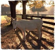 Donkey Hodie. She is our 25 year old Donkey here at Gypsy Gold. She has been free to roam about the farm everyday of her 25 years. I always say Hodie ownes the farm we are just visitors....:))!! Courtesy: Gypsy Gold, LLC, Ocala, FL (USA).