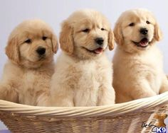 GOLDEN RETRIEVER   PUPPY! PUPPY! PUPPY!