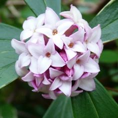 The Wonderful Daphne Odora - plant under the kitchen windows so the scent fills the house :)