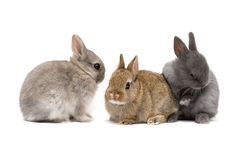 The Netherland Dwarf rabbitis one of the most popular rabbit breed in theworld.