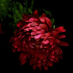 THE MYSTERIOUS RED ASTER... by Magda indigo