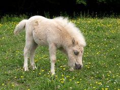 Cutest little guy! Hes a Falabella colt