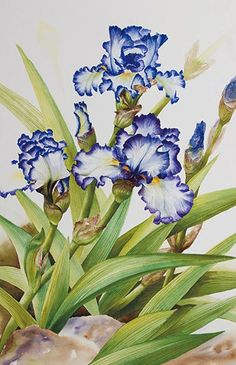 Watercolor demonstration of white & purple iris by Lisa Hll step 3