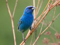 I was so excited when this guy stopped by our feeder today! Indigo Bunting, Identification, All About Birds - Cornell Lab of Ornithology