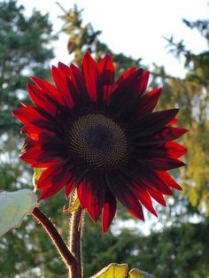 Buy Flowers Online Same Day Delivery Sunflower 'Moulin Rouge' Happy Flowers, Flowers Nature, Exotic Flowers, Amazing Flowers, Wild Flowers, Beautiful Flowers, Sun Flowers, Sunflowers And Daisies, Gothic Garden