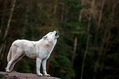 Portrait of Arctic wolf
