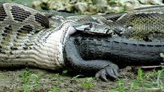 eu não como cobra, cobra não é linguiça ,cobra é um bicho Venenoso ! rsrsr  Python eats Alligator 02, Time Lapse Speed x6