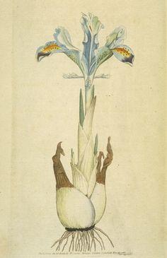 Iris persica-1792-William Curtis