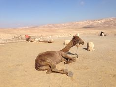 Bedouin camels in southern Israel