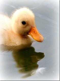 fuzzy little ducky :3