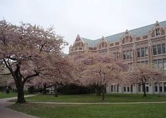 Cherry blossoms. UW campus.