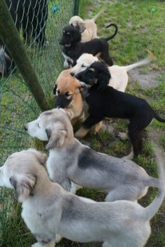 You'll often get many different colors in one litter, depending on the sire and dam's coat color and genes. Hound Puppies, Hound Dog, Dogs And Puppies, Doggies, Afghan Hound Puppy, Puppy Litter, Most Beautiful Dogs, Cute Dog Pictures, Dog Facts