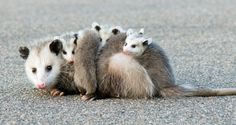 7 Fascinating Facts About Opossums